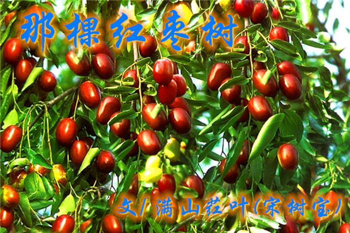 那棵红枣树